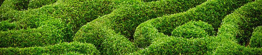 buxus-planten