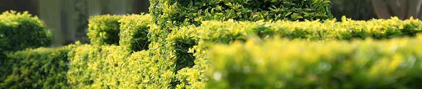 Buxus en andere wintergroene haagplanten online kopen